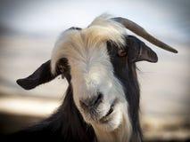 Goat. Omani goat, Jebel Shams, Oman Royalty Free Stock Image
