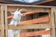 Free Goat On Farm Royalty Free Stock Photo - 73349265