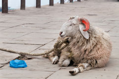 Goat with orange horns on ghat near sacred river Ganges in Varanasi Royalty Free Stock Photo