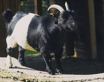 Goat in the outdoor enclosure. Picture shows an goat in the outdoor enclosure in st. poelten in spring Royalty Free Stock Image