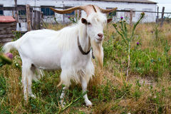 He-goat in outdoor Royalty Free Stock Photos