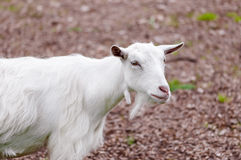 Goat outdoors farm animal white domestic countryside Stock Image
