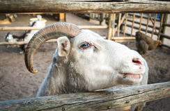 Goat. Over the fence close-up Royalty Free Stock Photo