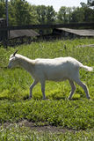 Goat over green grass Royalty Free Stock Photography