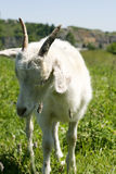 Goat over green grass Royalty Free Stock Images