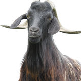 Goat over white. Dark goat closeup photo over white background royalty free stock photography