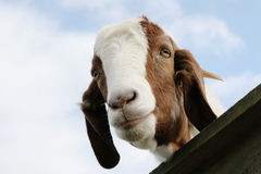 Goat in the paddock. Brown and white Boer goat looking over the gate in the paddock stock photography