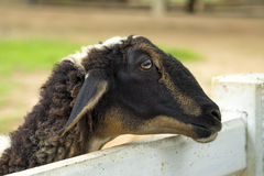 Goat in the paddock Stock Photography
