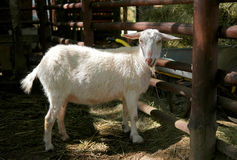 Goat. In the paddock for cloven-hoofed Stock Photo