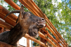 Goat. In the paddock for cloven-hoofed Stock Images