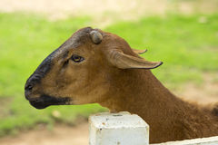 Goat in the paddock Stock Images