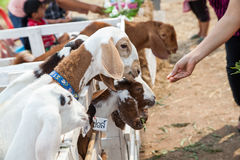 Goat in the paddock. In Thailand Royalty Free Stock Images