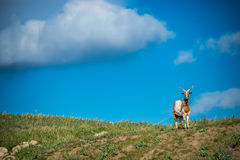 Goat. Panorama with goat in a blue sky Stock Photo