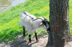 Goat in park about tree royalty free stock photo