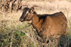 Goat pasture. Horny goat out to pasture in autumn Stock Photo