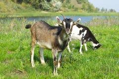 Free Goat Pasture Royalty Free Stock Image - 38203726