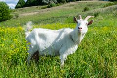 Goat on the pasture Royalty Free Stock Images