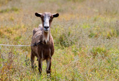 Goat on pasture Stock Photo