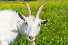 Goat on the pasture Stock Photography