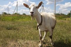 Goat in the pasture. In the park in nature Stock Photo
