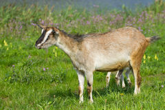Goat pasture. Goat grazing on a green grass Royalty Free Stock Photos