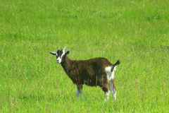 Goat on the pasture Royalty Free Stock Photo