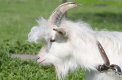 Goat in the pasture Stock Photos
