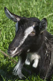 Goat in the pasture Royalty Free Stock Images