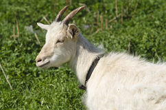 Goat in the pasture Royalty Free Stock Photo