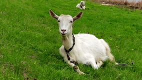 Goat on pasture Stock Image