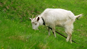 Goat on pasture Stock Photos