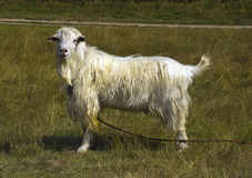 Goat on a pasture. Goat on a leash in a grass Royalty Free Stock Photos