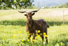 Goat on pasture. Longhorned goat o n pasture Stock Photography