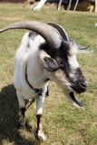 Goat in the pasture. In the park in nature Stock Photography