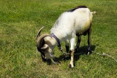 Goat in the pasture. In the park in nature Royalty Free Stock Photos