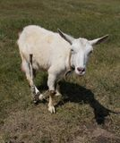 Goat in the pasture. In the park in nature Royalty Free Stock Image