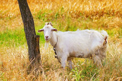 A goat at pasture Royalty Free Stock Image