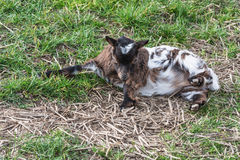 Goat on a pasture. Small young goat on a meadow Royalty Free Stock Photos