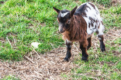 Goat on a pasture Royalty Free Stock Photos