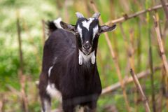 Goat on a pasture. Goat standing on a pasture, Greece Royalty Free Stock Photography