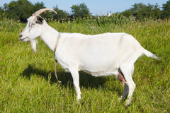 Goat in pasture Stock Photography