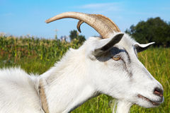 Goat in pasture Royalty Free Stock Images