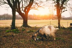 Goat on the sunny pasture Stock Image
