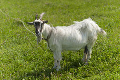 Goat on pasture. Stock Images