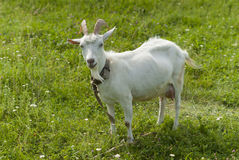 Goat on pasture. Royalty Free Stock Photography