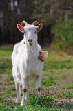 Goat on Pasture Royalty Free Stock Image