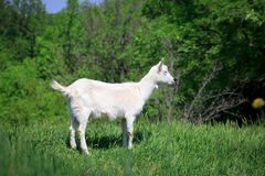 Goat on pasture Royalty Free Stock Photography