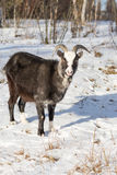 Of goat pasture in the winter birch forest Royalty Free Stock Photos