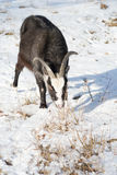Of goat pasture in the winter birch forest Stock Photo