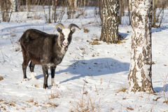 Of goat pasture in the winter birch forest Stock Photography